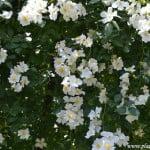 Rosa wichuraiana nativa del este de Asia