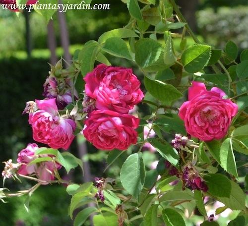 Rosa x borboniana, detalle floración, 1919.