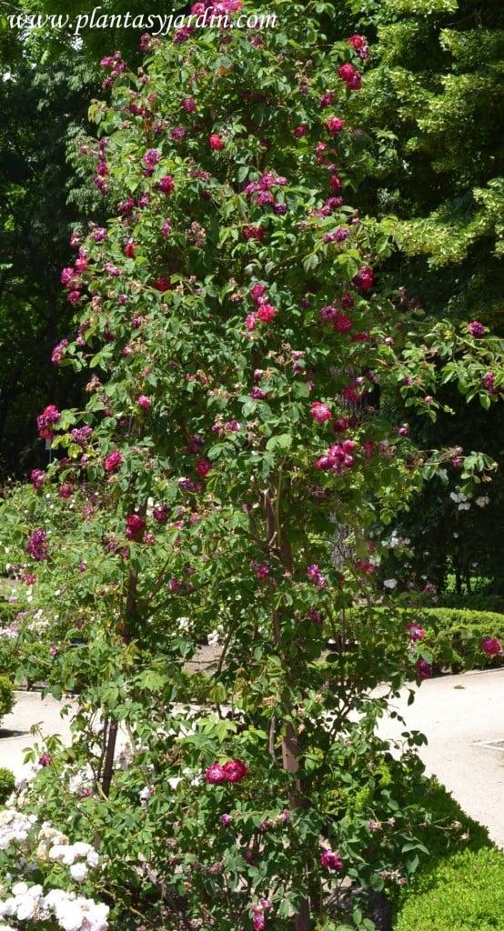Rosa x borboniana.