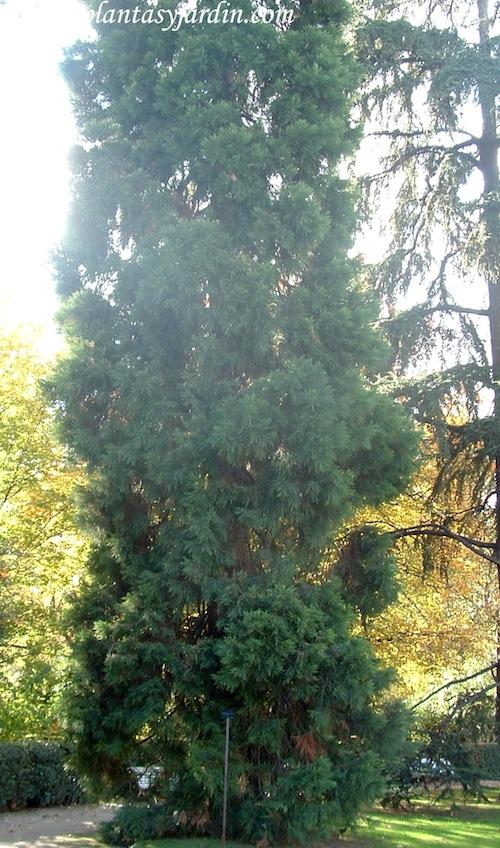 Sequoiadendron giganteum-Secoya gigante, en otoño.
