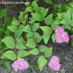 Spiraea japonica, detalle follaje