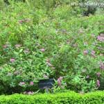 Spiraea japonica, nativa de Japón-Corea y China