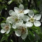 detalle de la flor del Pyrus communis. Foto: Wikipedia.