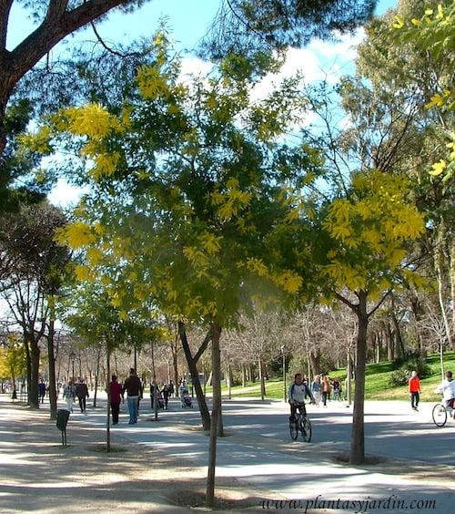 Acacia dealbata-Mimosa, florecida a finales del invierno.