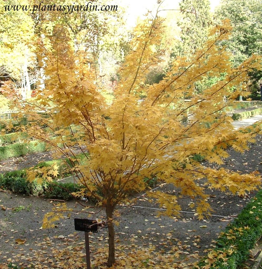 """Acer palmatum """"Red Wood"""" en otoño."""