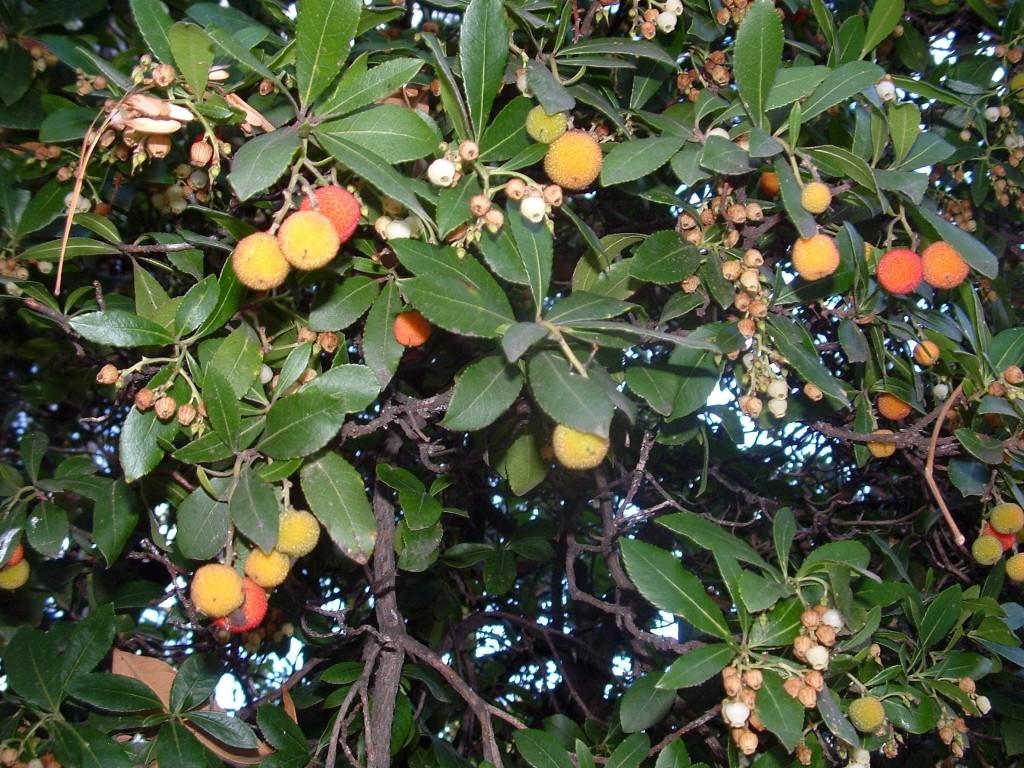 Arbutus unedo-Madrono con frutos en otoño.