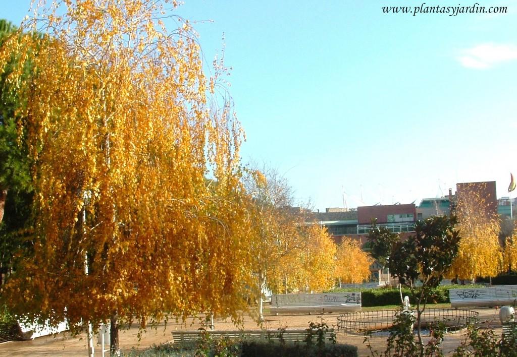 Betula pendula, Abedules en otoño.