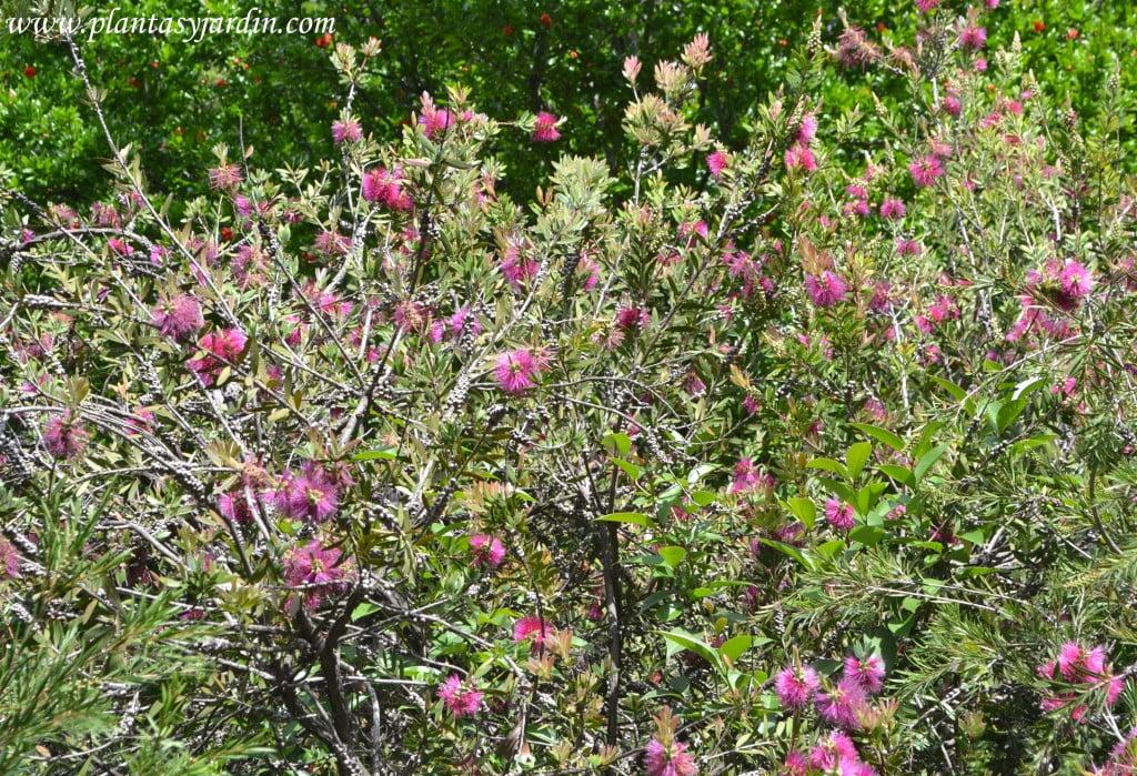 Callistemon citrinus, florecido en primavera.
