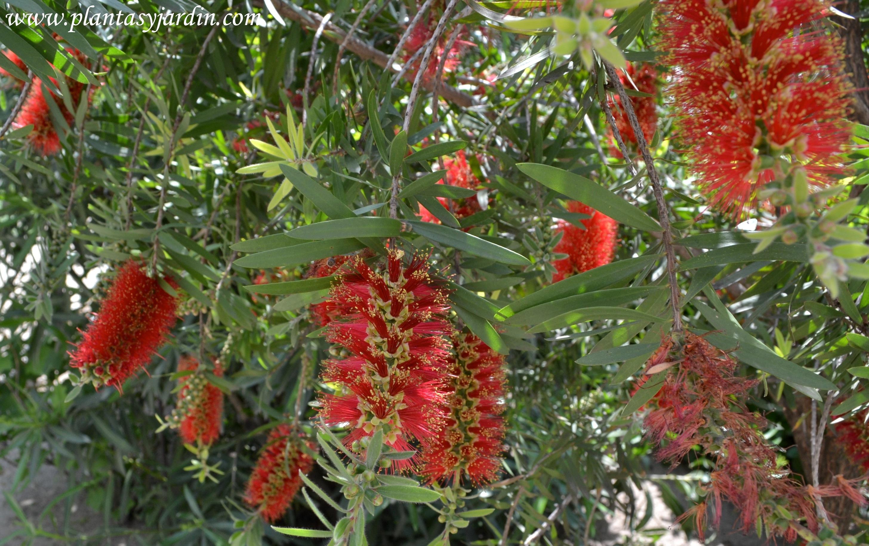 http://plantasyjardin.com/wp-content/uploads/2011/08/Callistemon-viminallis-Red-Cascade-detalle-floraci%C3%B3n-a-finales-de-la-primavera..jpg