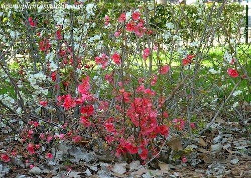 Chaenomeles speciosa color rosado a fines del invierno.
