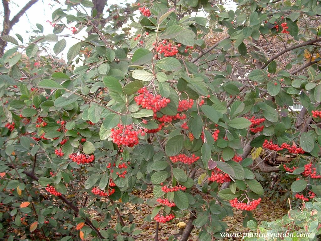 Cotoneaster glaucophyllus con frutos rojos en otoño.