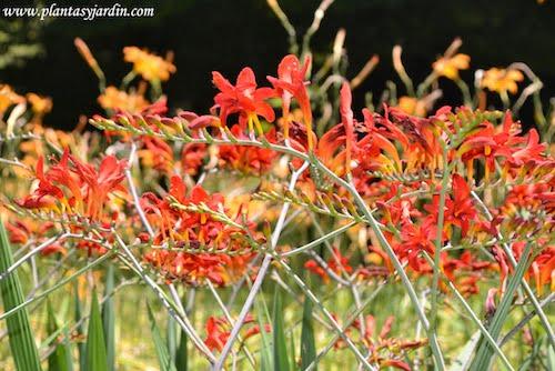"Crocosmia ""Lucifer"" detalle varas florales."