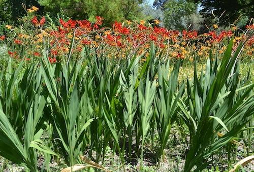 """Crocosmia """"Lucifer"""" en macizo floral, en verano."""