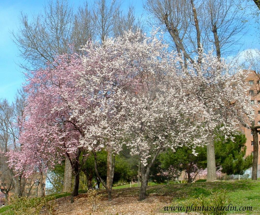 Prunus florecidos a finales del invierno, sobre sus ramas desnudas.