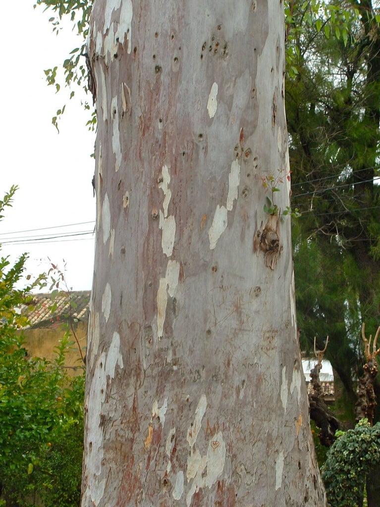 tronco del Eucalyptus