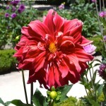 "Dahlia ""Barbarrosa"", Decorativa, nativa de México."