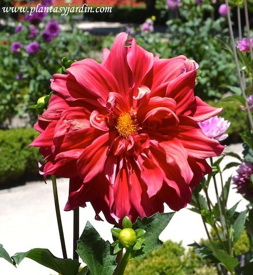"Dahlia ""Barbarrosa"", Decorativa, nativa de México."