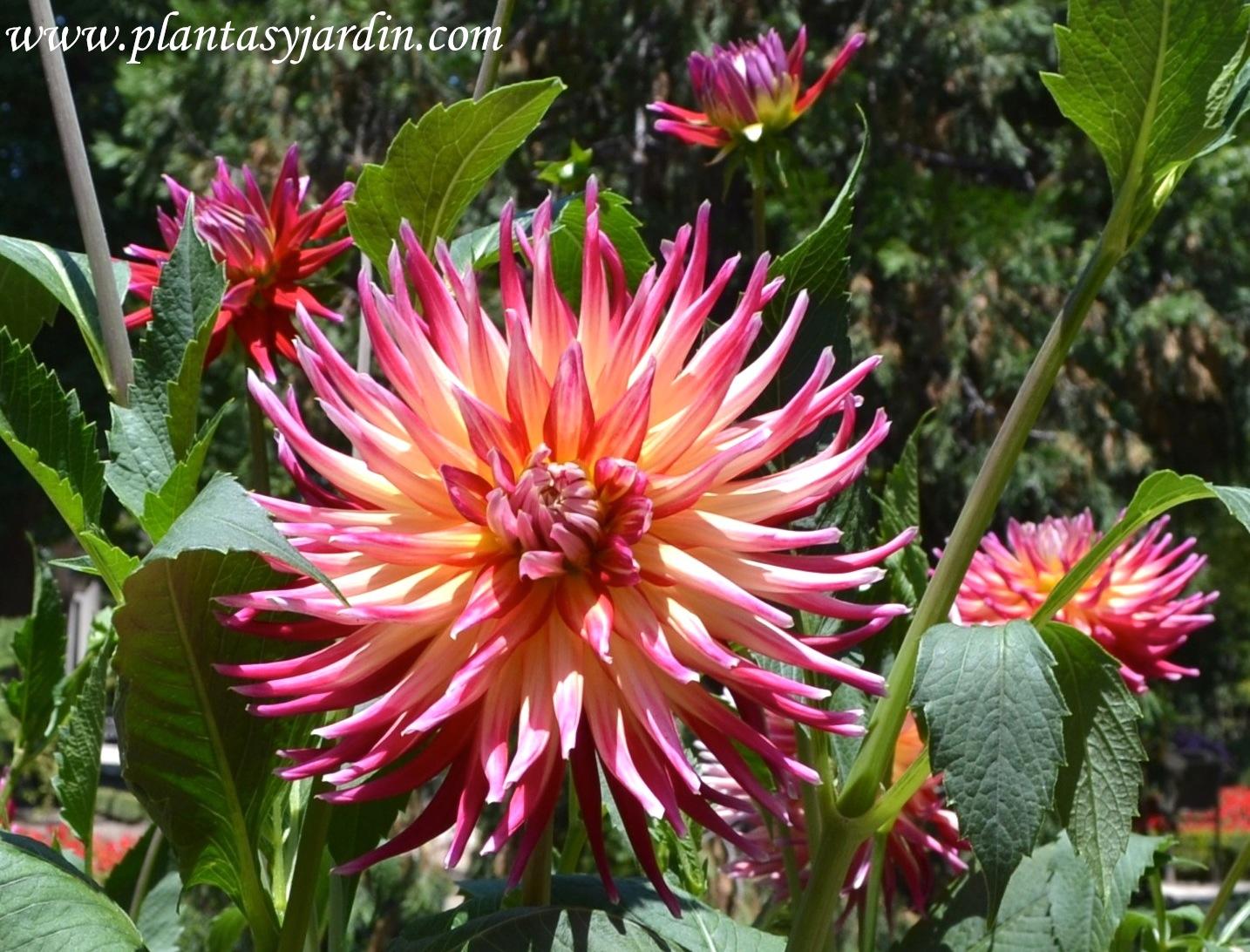 """Dahlia """"Bora Bora"""" Cactus, nativa de México."""