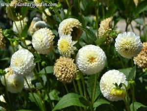 """Dahlia """"Boule de Niege"""", Pompón, detalle de flor."""
