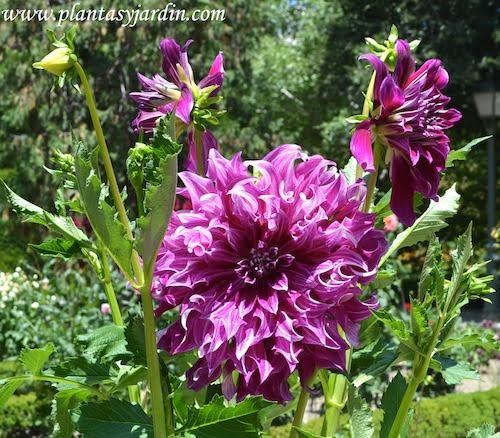 """Dahlia """"Bristol Panache"""", Cactus, detalle de flor."""
