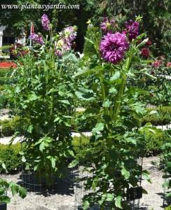 """Dahlia """"Bristol Panache"""", Cactus, nativa de México."""