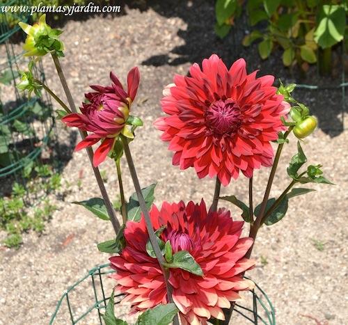 """Dahlia """"Deutschland"""" detalle de flor, nativa de México."""