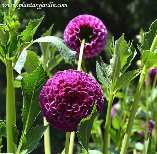 "Dahlia ""Downham Royal"" Pompón, detalle de flor."