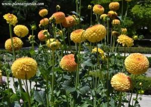 """Dahlia """"Golden Scepter"""" Pompón, detalle de flor."""