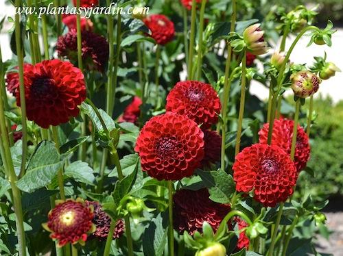 "Dahlia ""Nescio"" Pompón, detalle de flor, en verano"