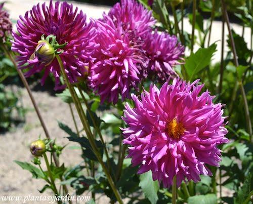 """Dahlia """"Purple Gem"""", detalle de flor, en verano."""