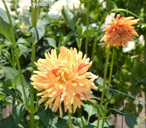 """Dahlia """"Saint Saens"""", Cactus, detalle de flor."""