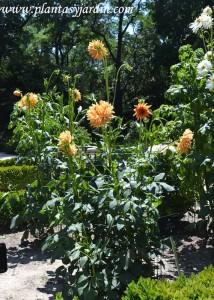 """Dahlia """"Saint Saens"""" Cactus, nativa de México."""