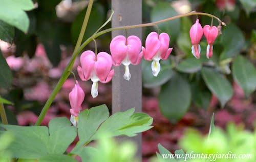 Dicentra spectabilis, detalle de flores en primavera.