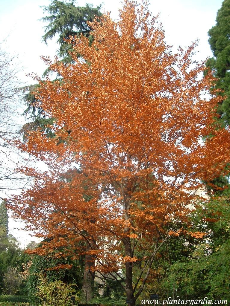 Fagus sylvatica-Haya, colores otoñales.