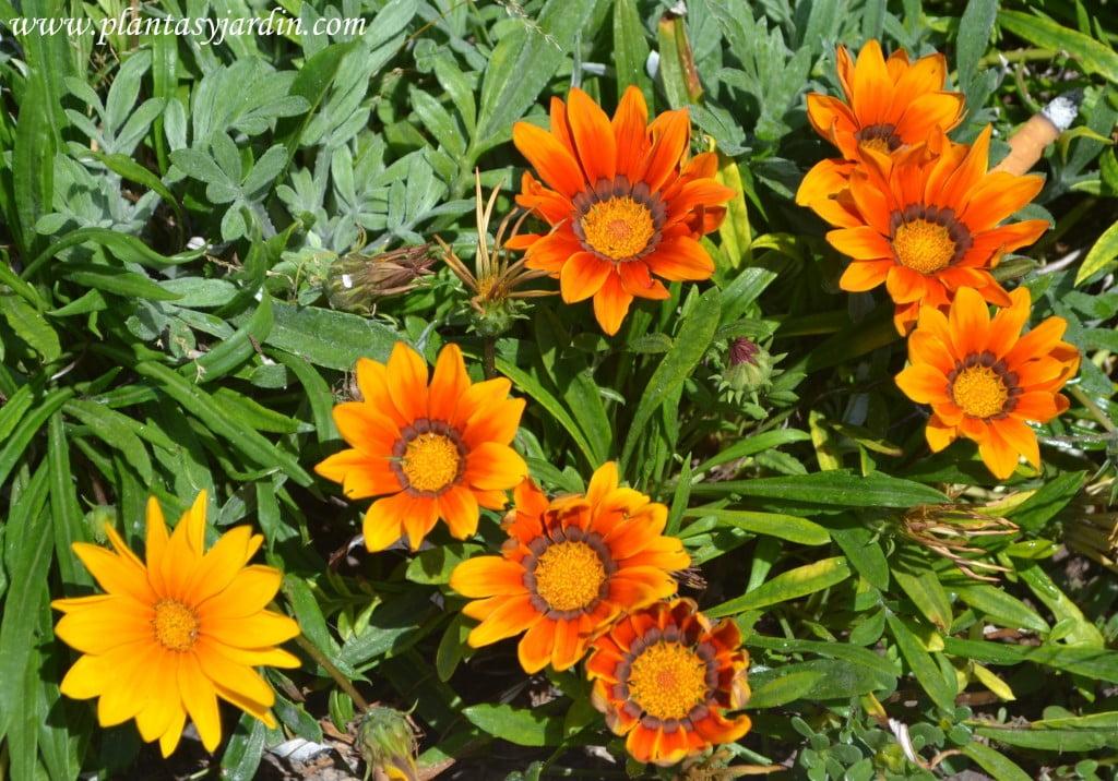Gazania, florecidas en plena primavera.