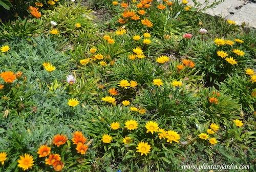 Gazania, macizo floral.