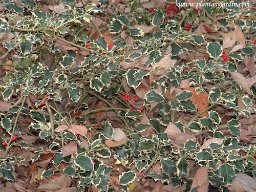 """Ilex aquifolium-Acebo """"Aurea Marginata"""", con frutos rojos en invierno."""