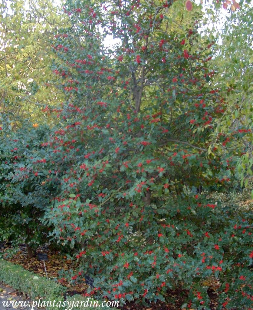 Ilex aquifolium con bayas en otoño.