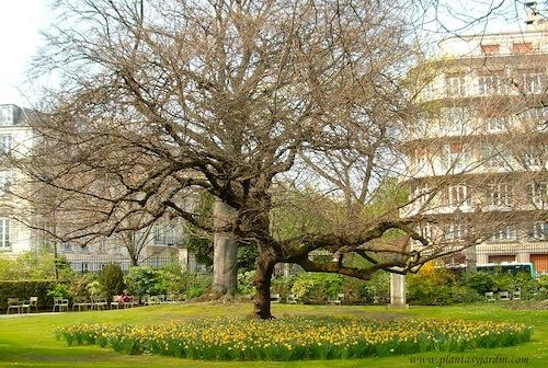 Narcisos bajo un árbol caduco en el Jardin de Luxembourg.