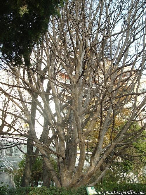 Parrotia persica en invierno, un majestuoso porte.