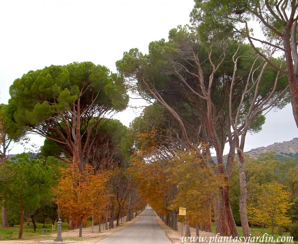 Castaño de indias y Pinus pinea en otoño, colores otoñales entre especies caducas y perennes