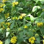 Phlomis fruticosa, flores de color amarillo, la corola formada por dos labios.
