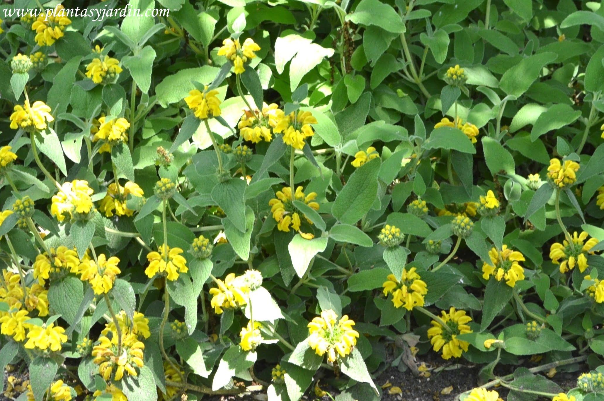 Phlomis fruticosa, florecida en la primavera.