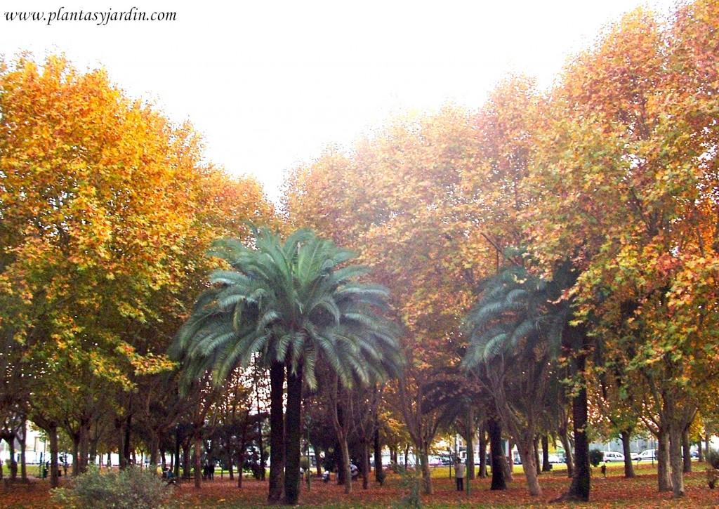 Phoenix & Platanus en otoño.