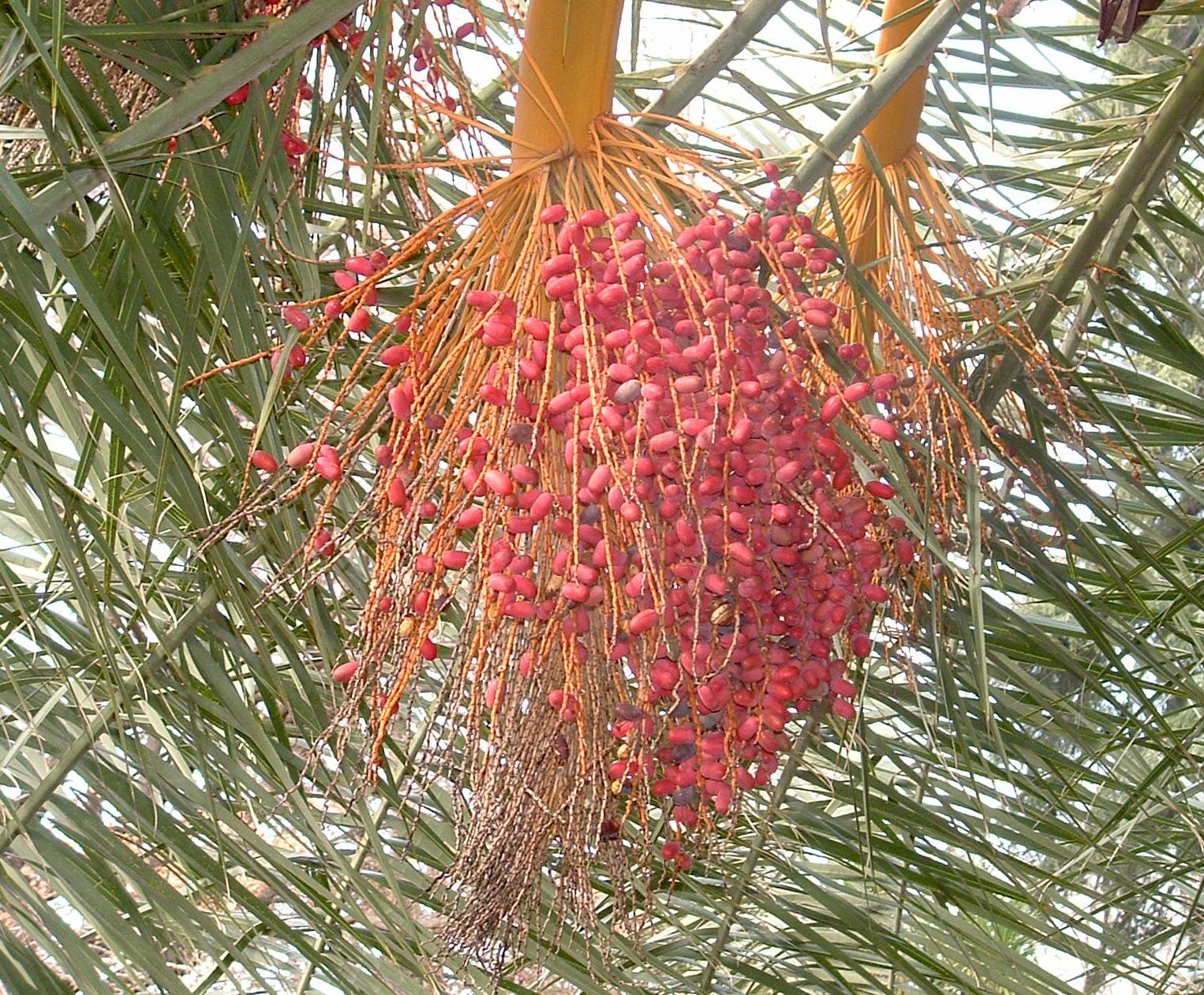 Phoenix canariensis, detalle frutos en otoño