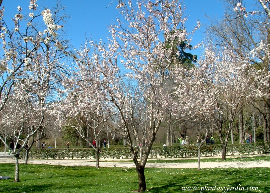 Prunus dulcis-Almendros, de flores blancas, a finales del invierno.