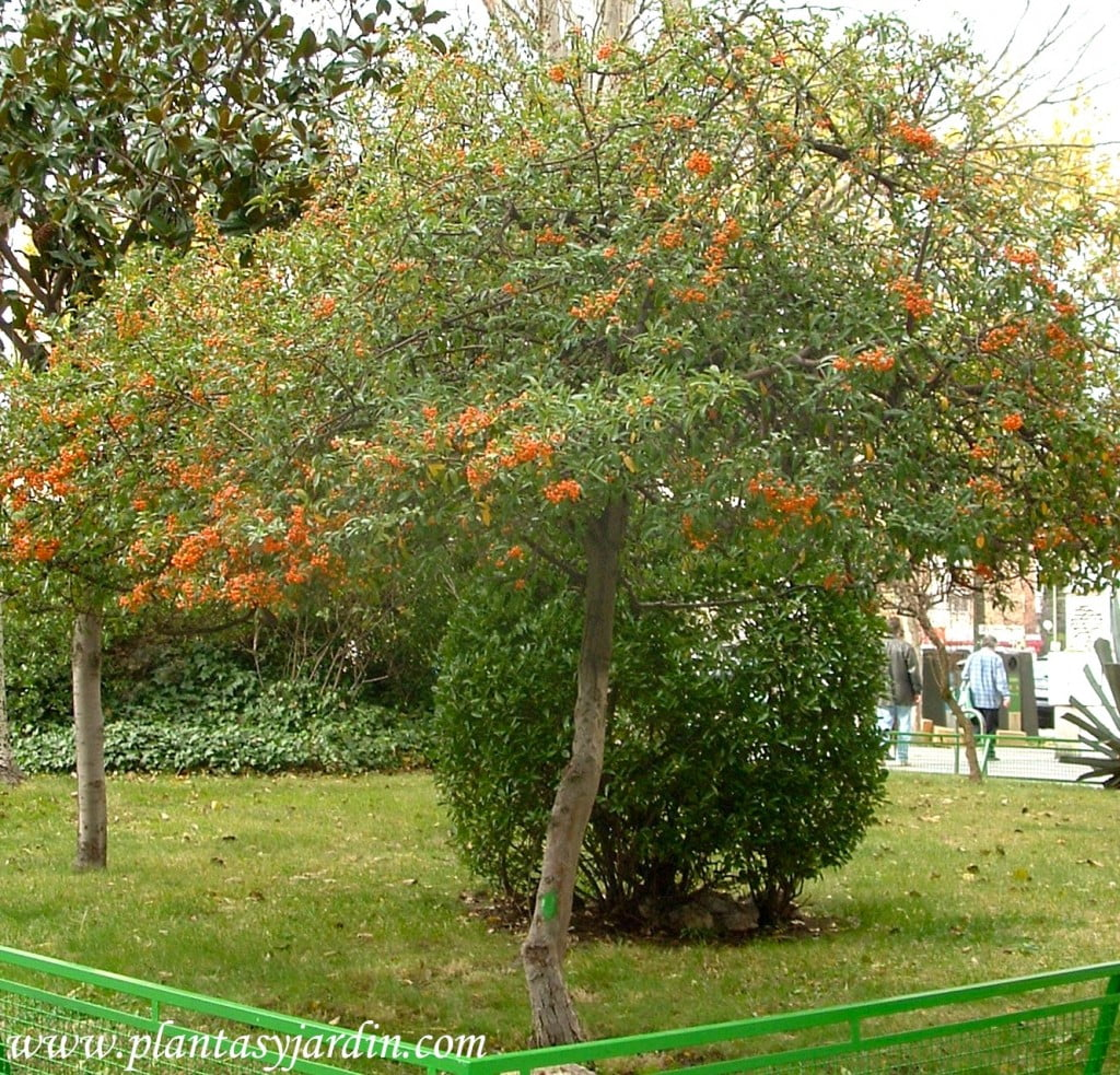 Pyracantha coccinea con bayas naranjas en invierno.