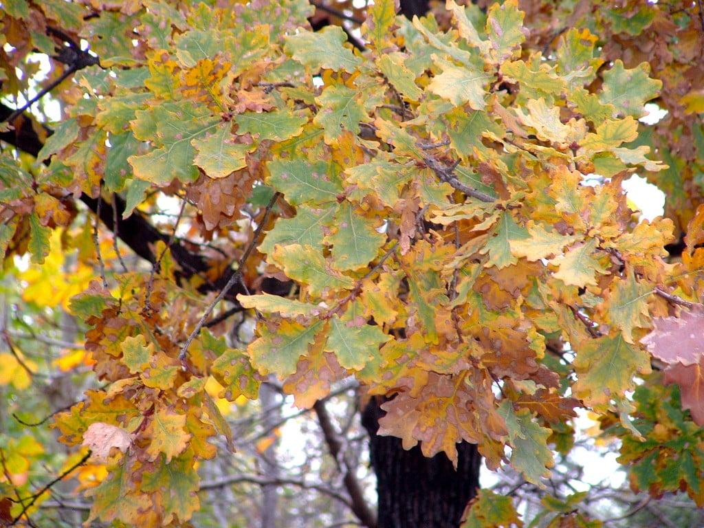 Quercus robur, detalle follaje.