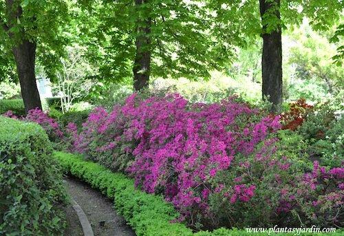 "Rhododendron ""Amoenum"" en primavera."