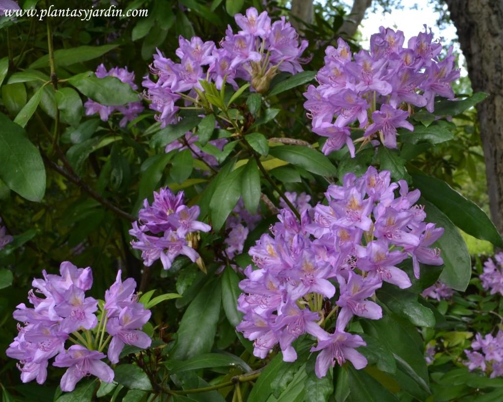 Rhododendron ponticum-Hojaranzo, detalle floración.
